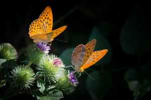 nature orange butterfly silver bordered fritillary